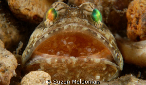 Banded Jawfish with Eggs by Suzan Meldonian 